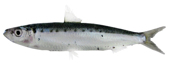 Spotted Sardine (northern pichard)