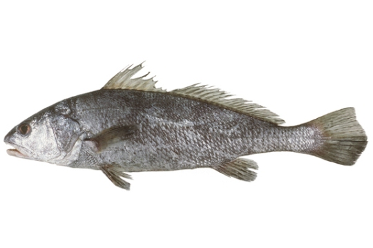 Black Jew Fish