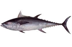 Long Tail Tuna