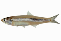 Indian Anchovy