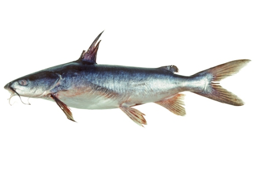 Forktail Catfish