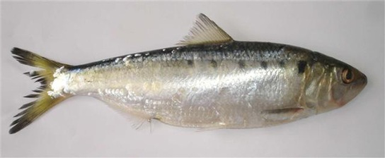 Small Spotted Herring