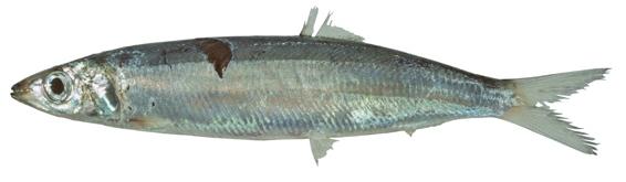 Slender Sardine
