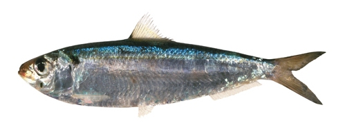 Gold Stripe Sardine