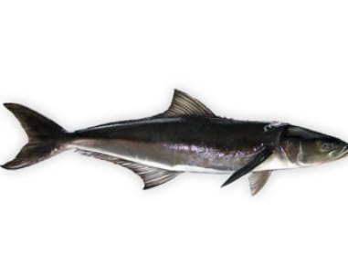 Cobia (King Fish)