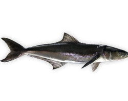 Cobia (King Fish)