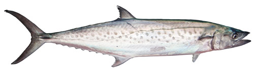 Spotted Mackerel