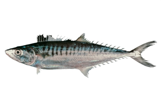 Grey Mackerel