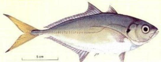 Oxeye Scad
