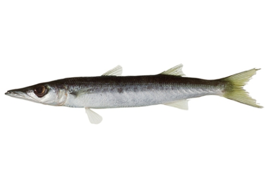 Striped Barracuda