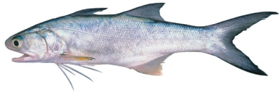 Blue-Threadfin
