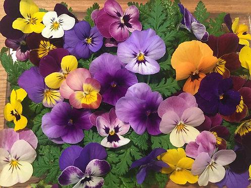 Winter Violas