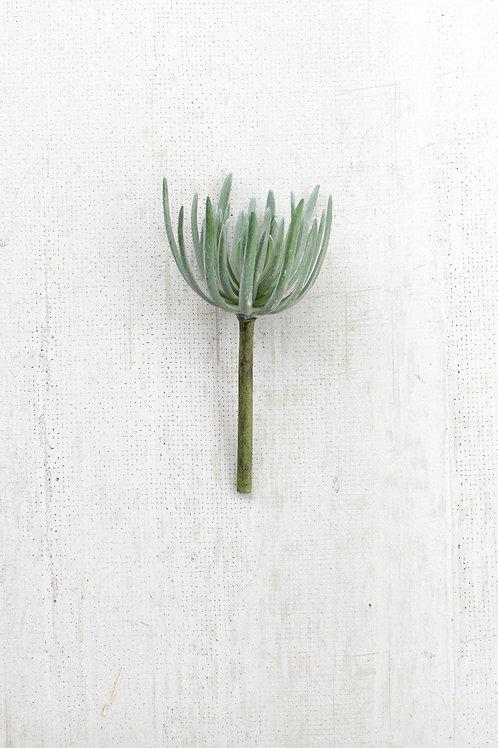 Grey Succulent