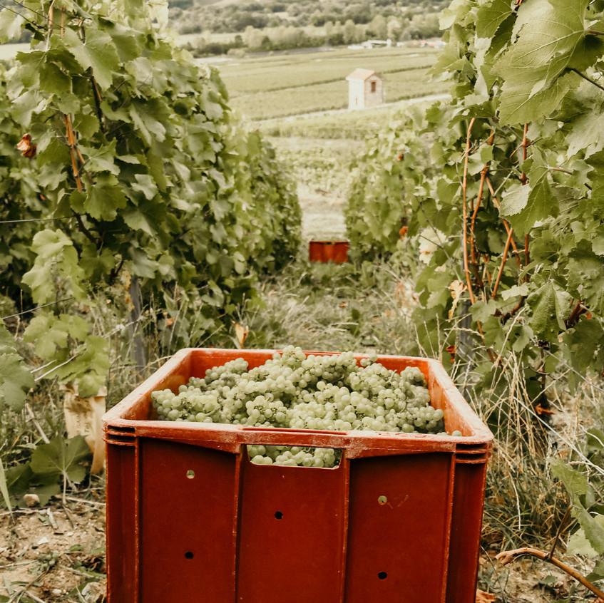 Cueillette du chardonnay
