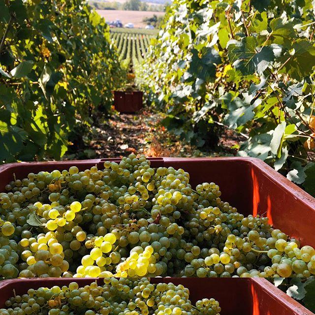 Récolte des raisins #Chardonnay pour not