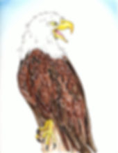 Thrush_Eagle talk page10 copy.jpeg