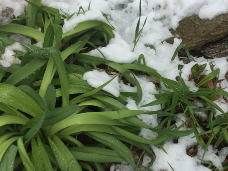 Lilies in the Snow