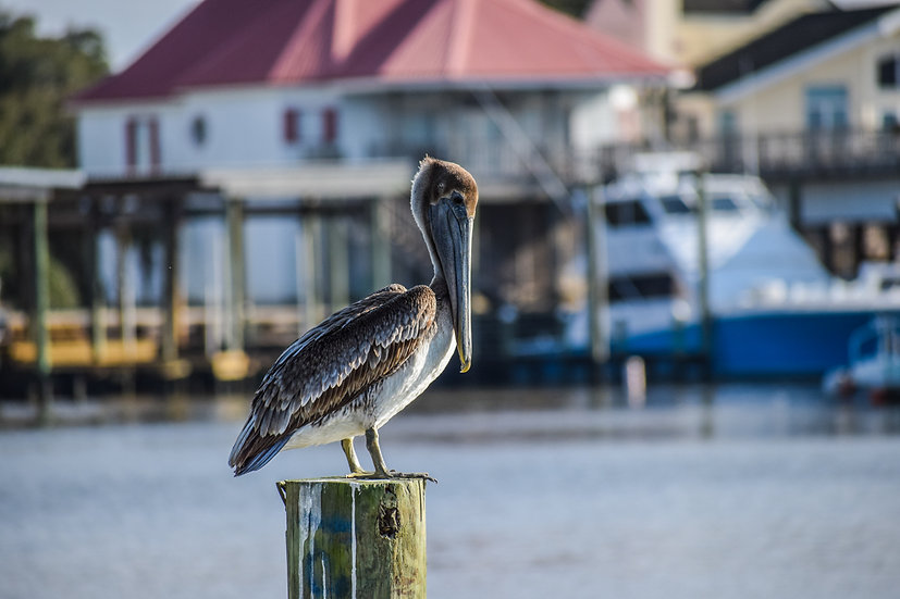 """Pelican on a post"" printed photo canvas"