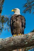 Lake Martin eagle-1-2.jpg