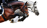 Two horses in jumping show, on white bac