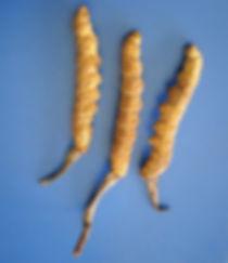 Кордицепс китайский растет на высоте от 3 до 5 тыс. м. в Гималаях восточнее 86 меридиана (для ориентира – восточнее горы Шишабангмы).