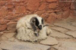 Tibetan goat