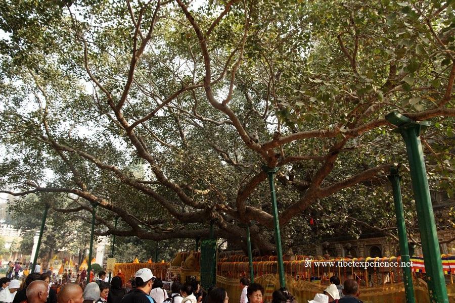Дерево бодхи, Бодх Гайя