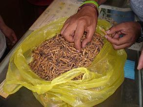 Идентифицировано свыше 400 видов кордицепса, лечебными свойствами обладают только некоторые из них, и только один из них, Ophiocordyceps sinensis, кордицепс китайский, представляет реальную ценность.