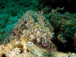 Grenada - scorpion fish