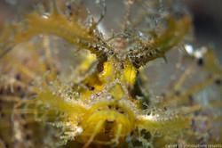 Dumaguete : ambon scorpionfish