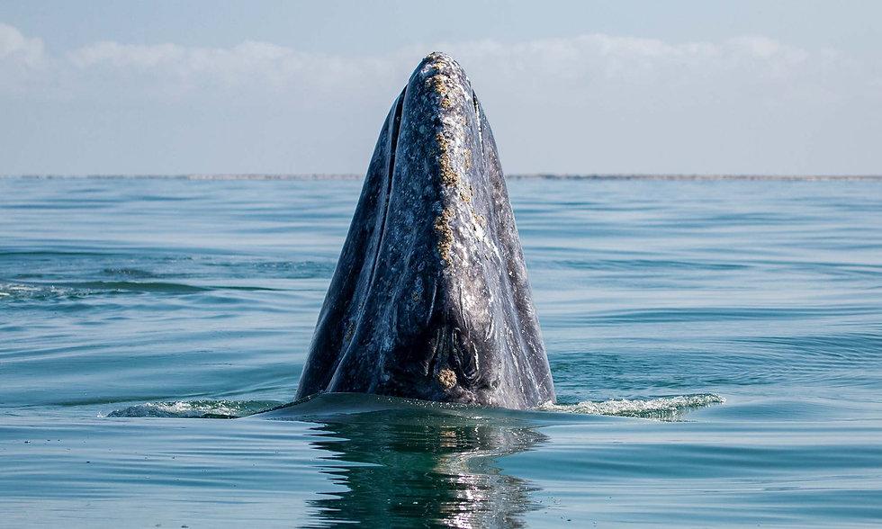 San-Ignacio-Gray-Whale-LRG.1920.jpeg