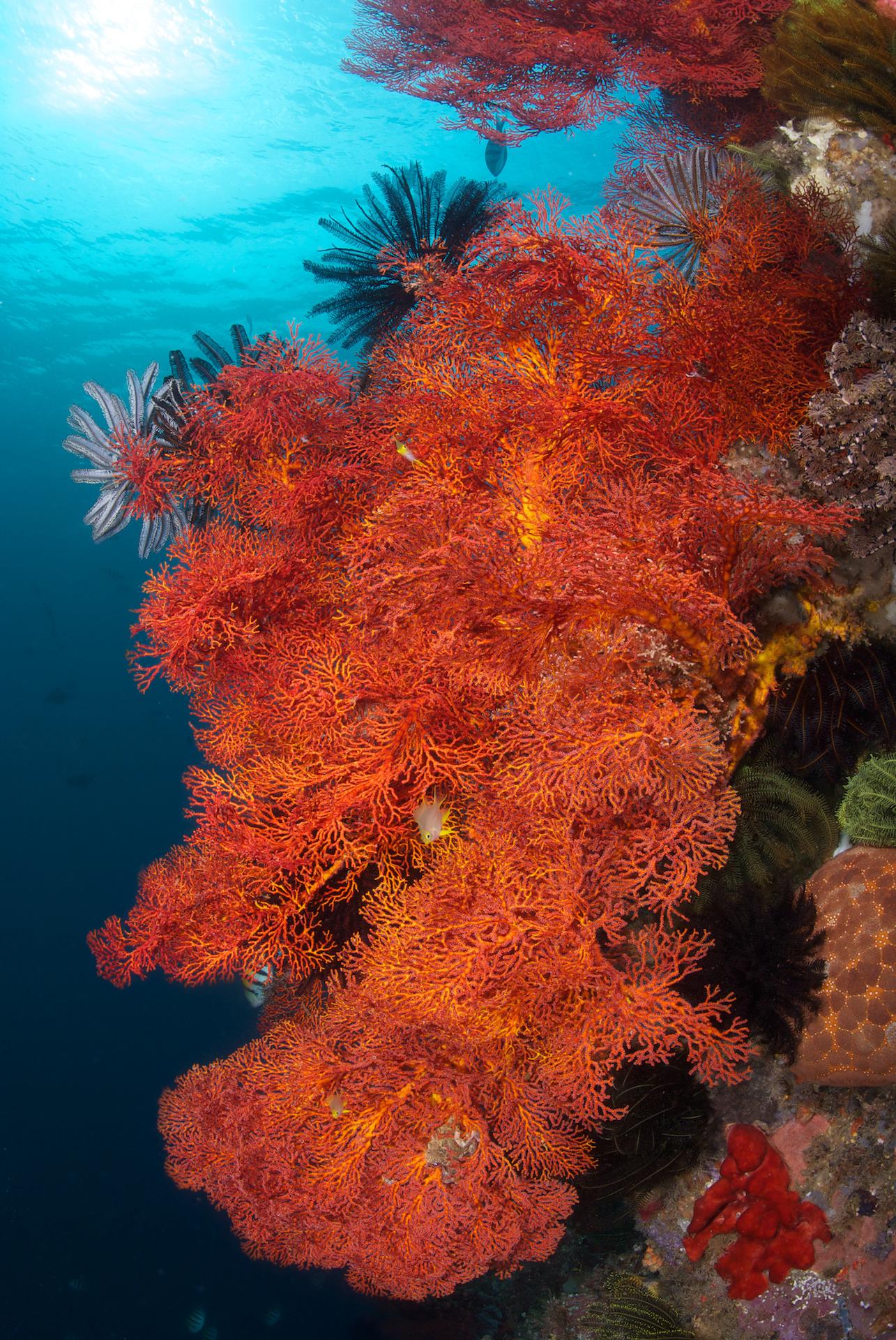 Bunaken - gorgonian