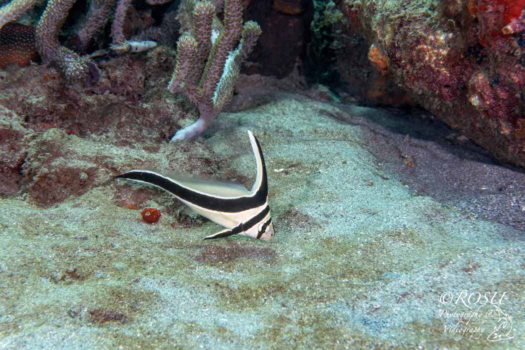 Grenada - adolescent jackknife fish