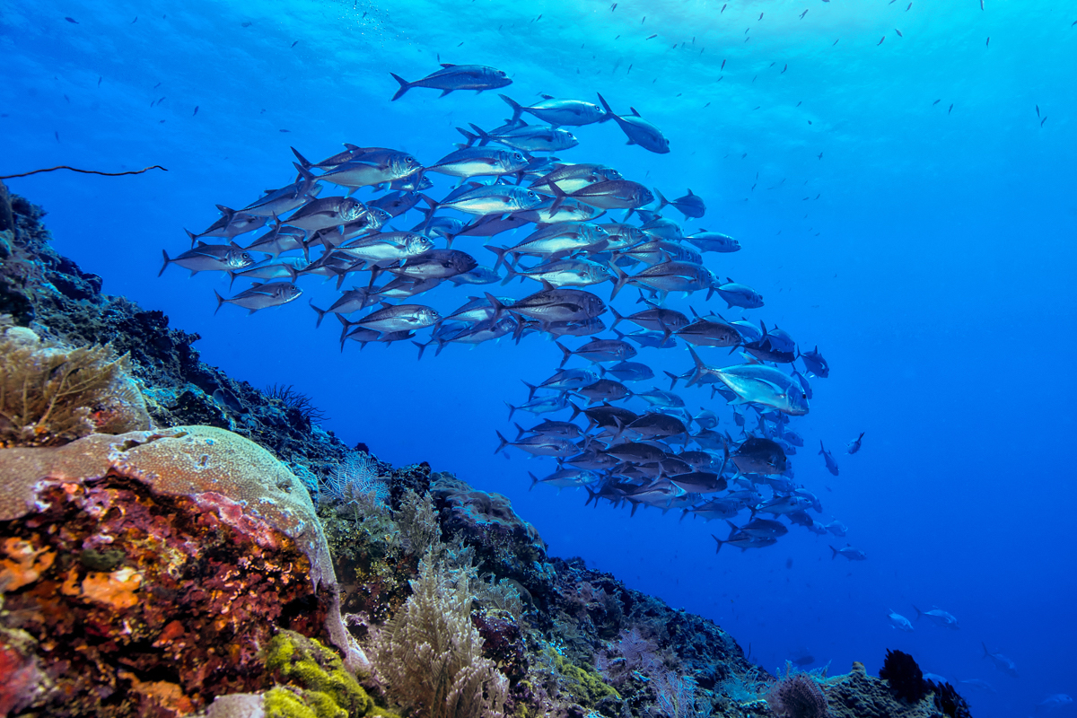 Bunaken - jack fish