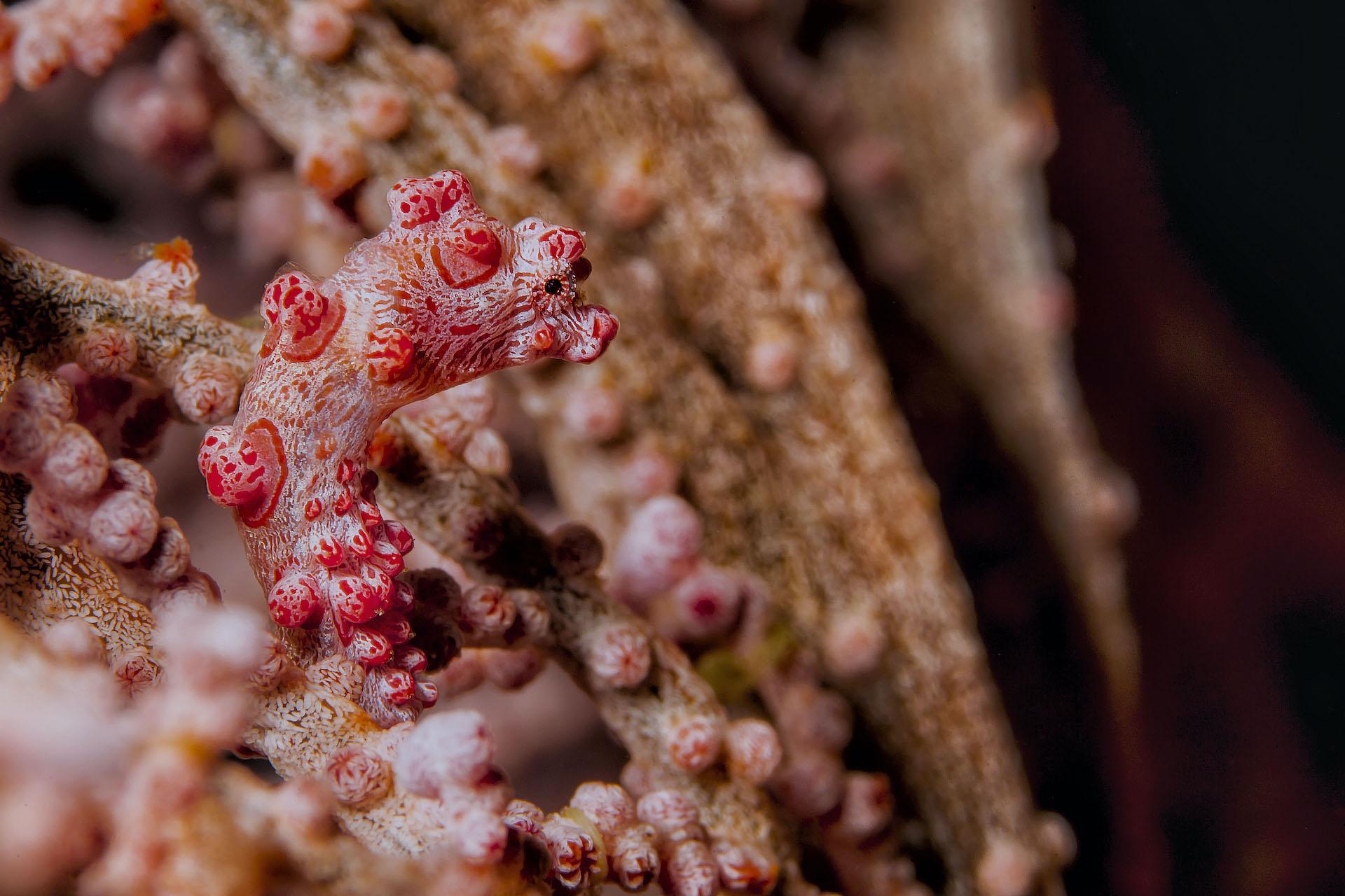 Bunaken - hippocampus bargibanti