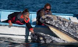San Ignacio Grey Whales