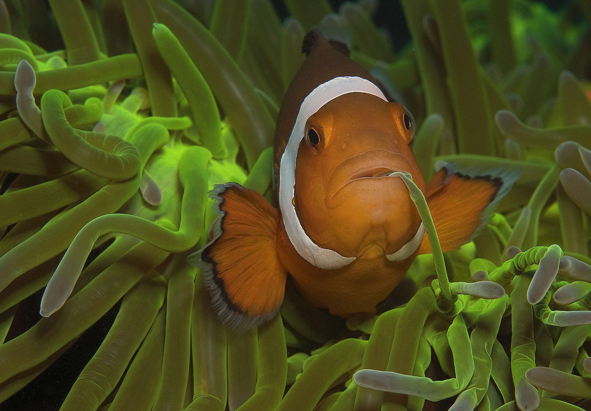 Dumaguete : anemonefish