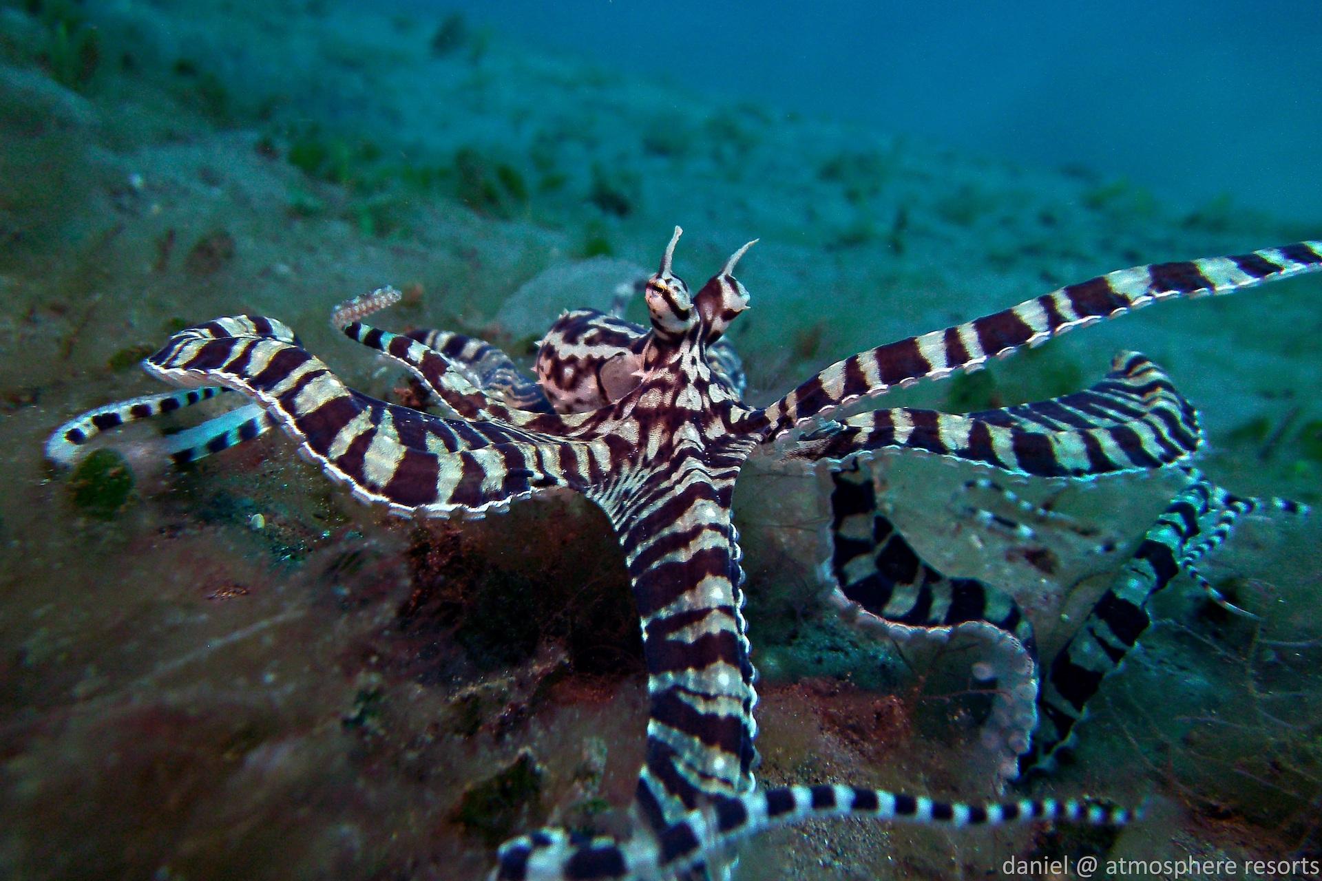 Dumaguete - Mimic Octopus