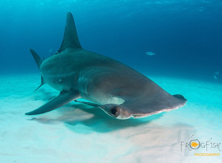 Come Dive with Us : Bimini Hammerheads
