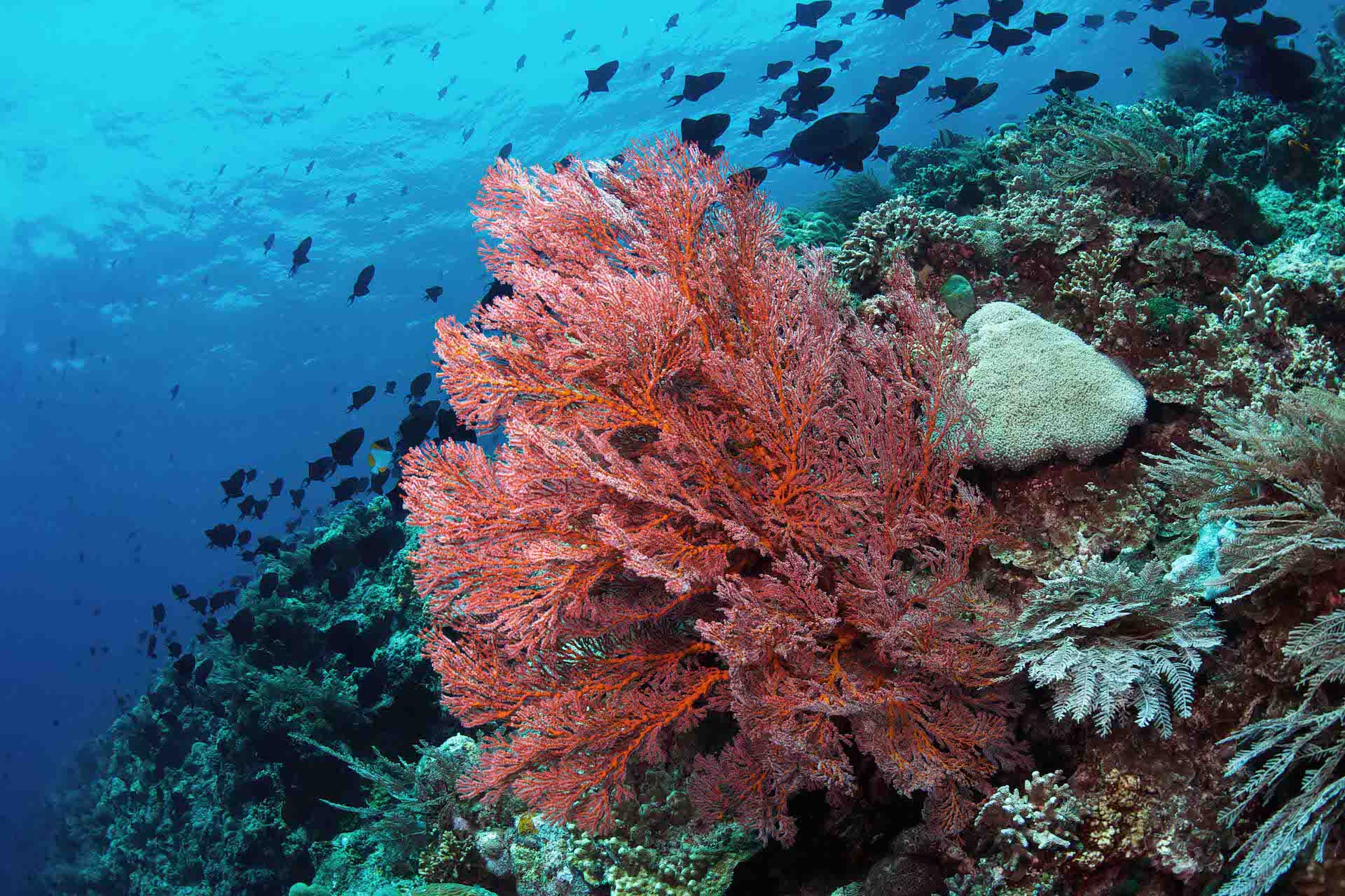 Bunaken Sea Fan
