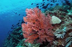 Bunaken Sea Fan