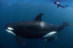 Sea of Cortez Mobulas & Orcas