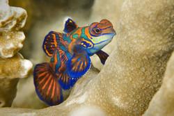 Palau : Mandarin fish lake