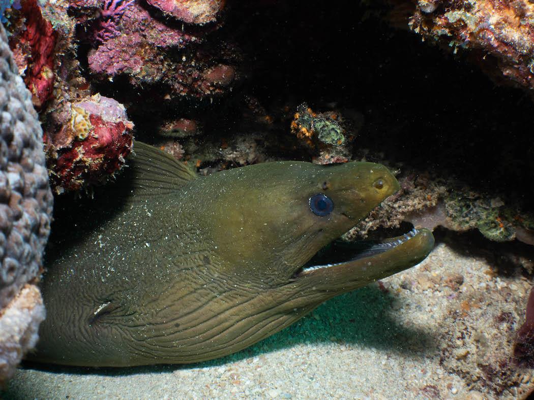 Grenada - moray eel