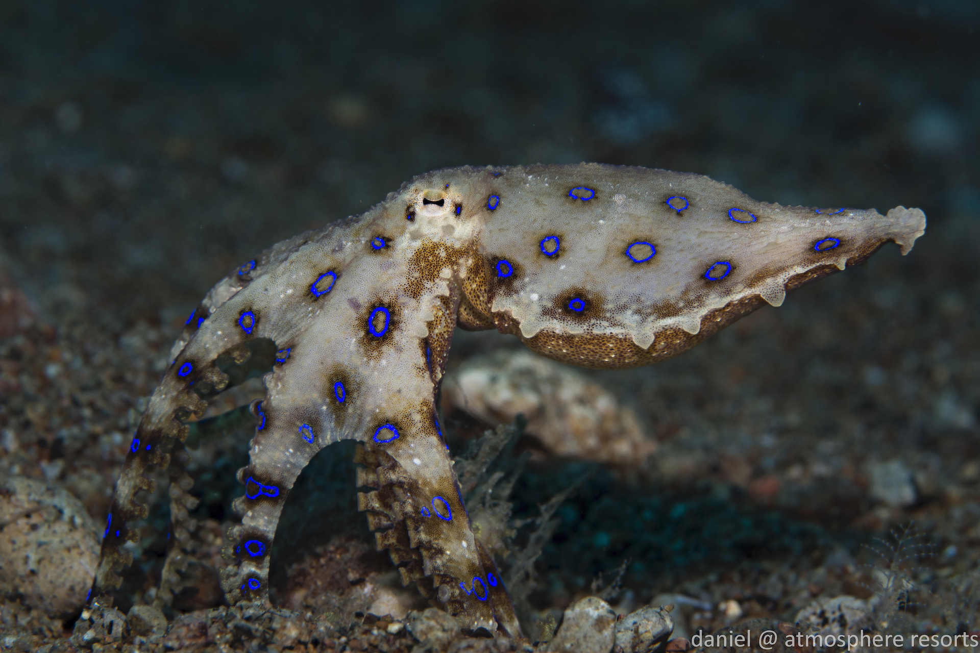 Dumaguete : Blue Ring Octopus