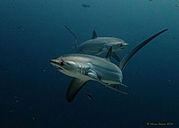 Thresher Shark Alex Stoyda.jpg