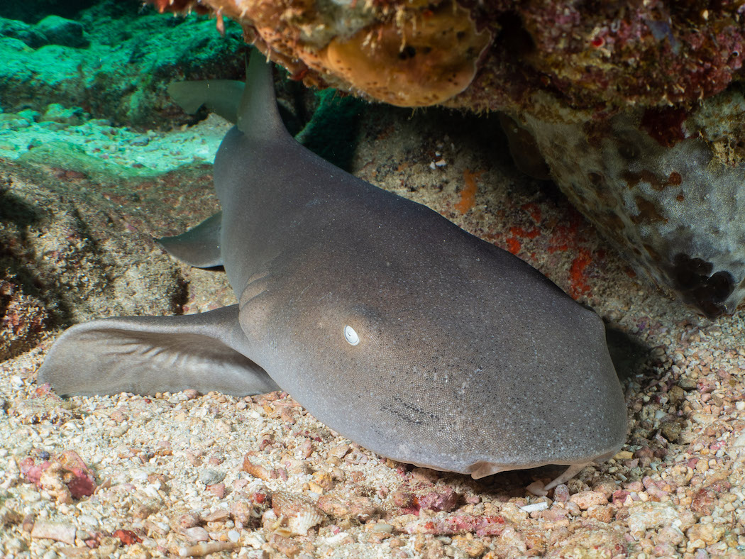 Grenada - nurse shark