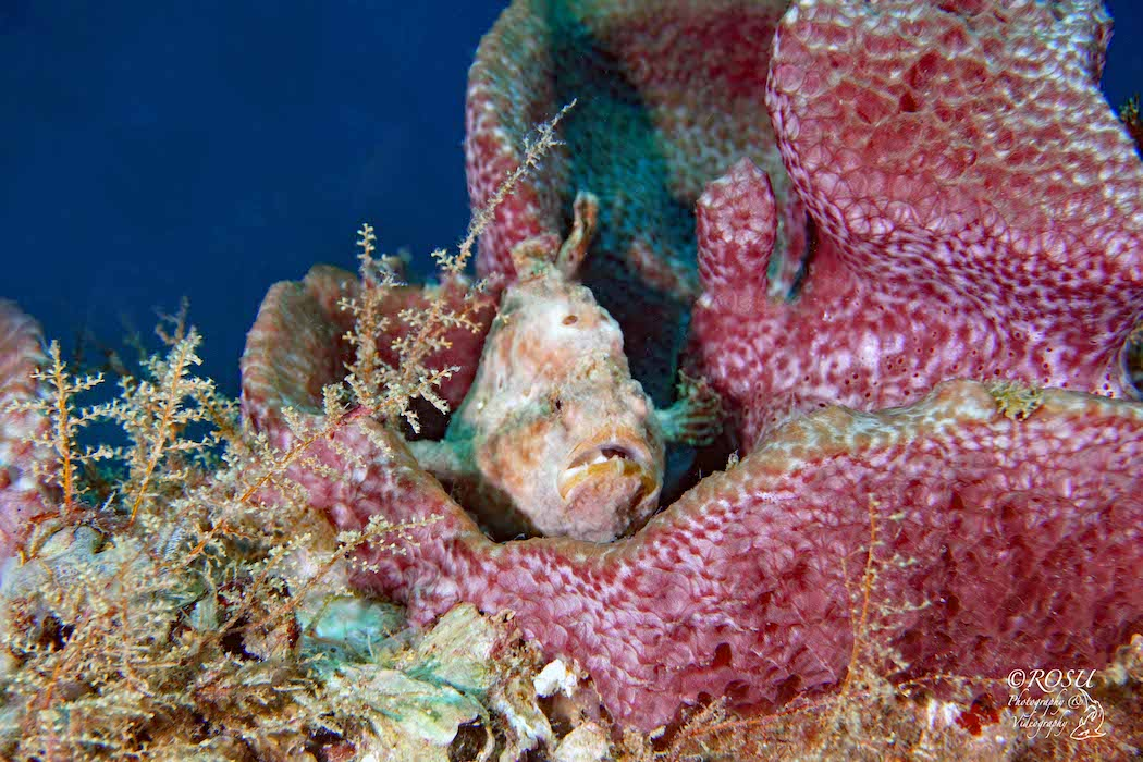 grenada.frog fish 1050 72.rosu