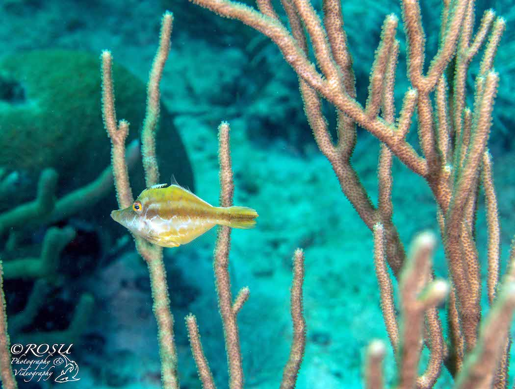 Grenada - smooth file fish