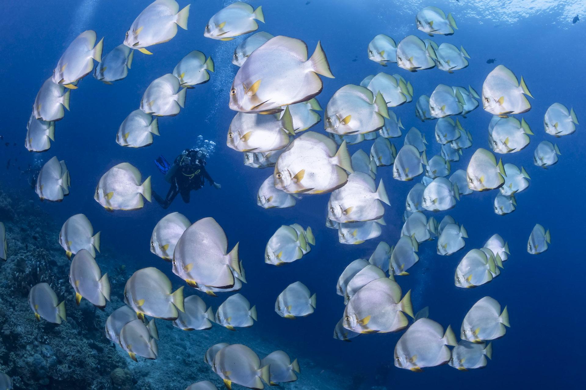 Bunaken - Batfish